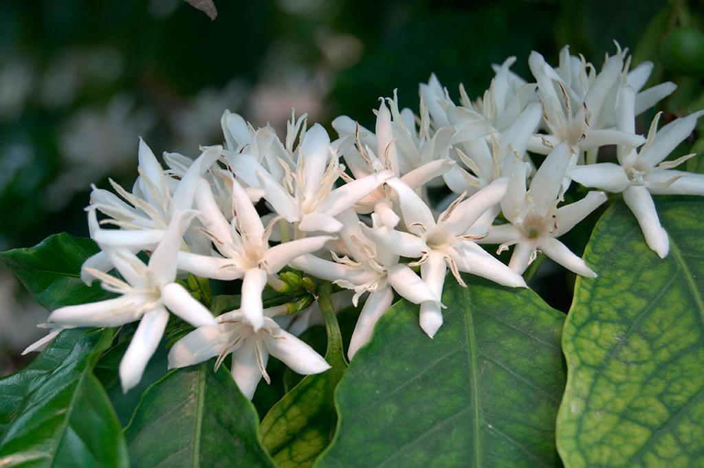 Imagen de cafetos (Coffea arabica) en plena floración en la 'Estufa do Café', cedida por el 'Jardim Botânico Tropical'. La deslumbrante belleza de estas flores y su delicada fragancia se pueden disfrutar en la época estival.