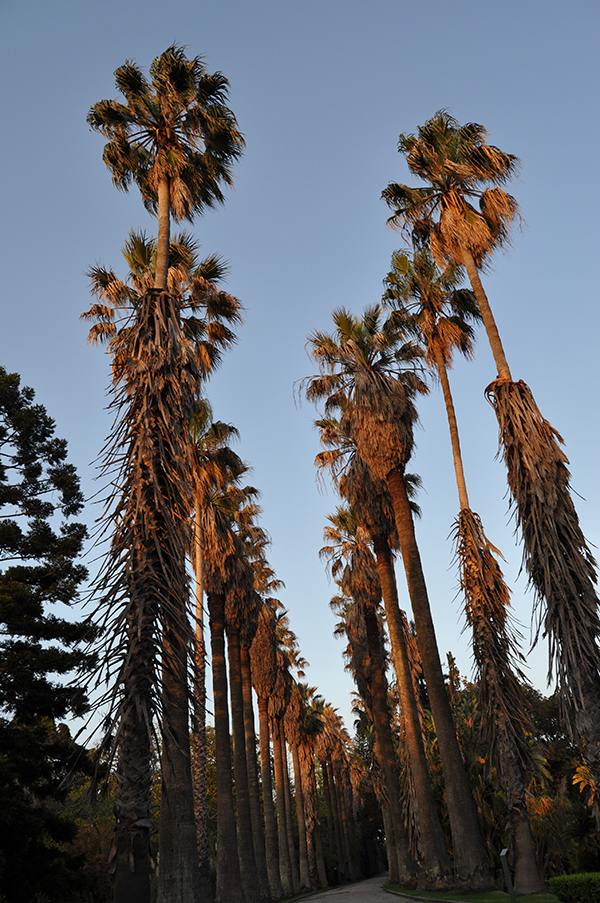 Washingtonia-spp